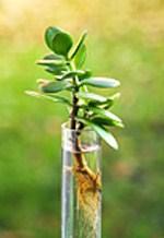 Как размножать денежное дерево в домашних условиях 222
