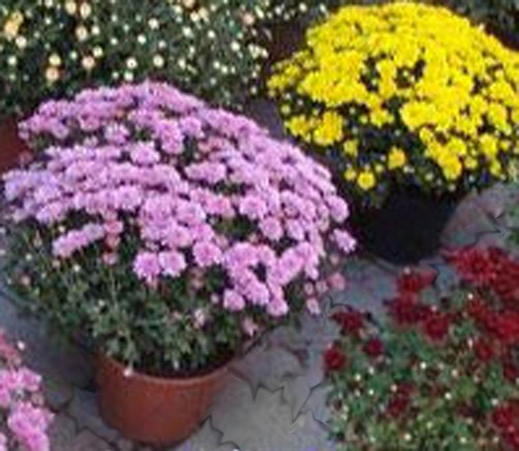 Как сажать хризантемы осенью в саду 92