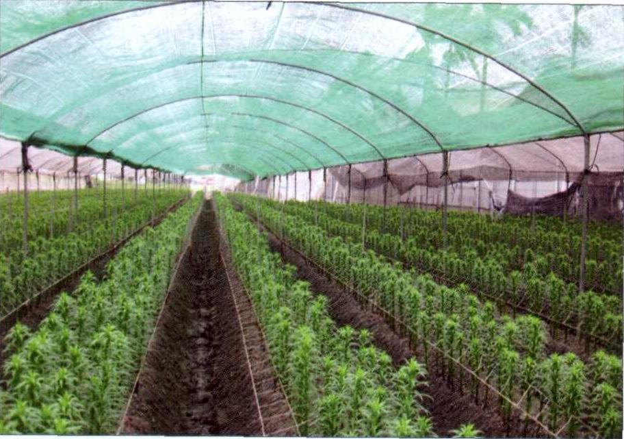 Выращивание в теплице лилии