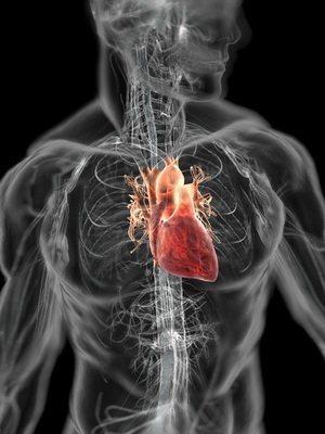 сердце человека где находится фото