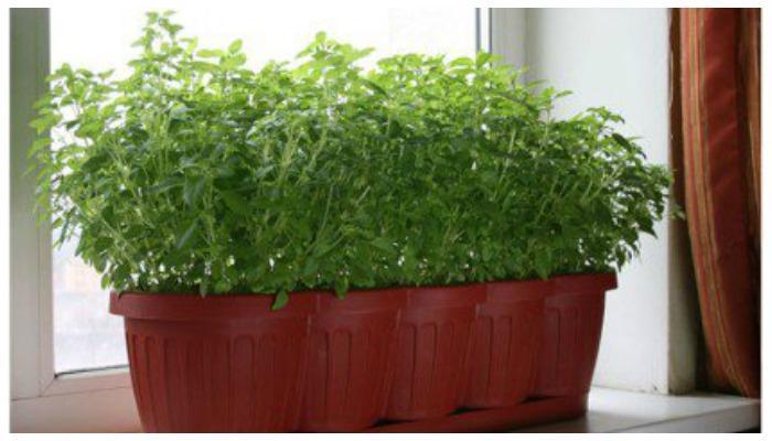 Выращивание зелени на подоконнике - My Life