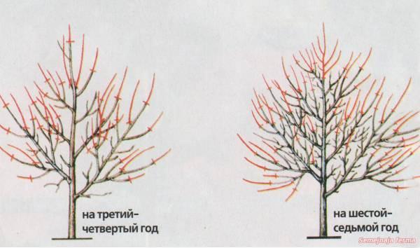 Омоложение абрикоса