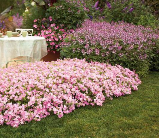 Брызги шампанского цветы фото