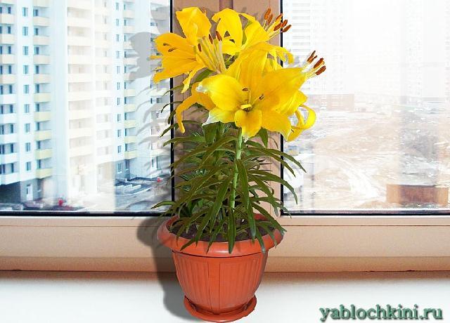 Лилии в горшках, в контейнерах на подоконнике в квартире - My Life