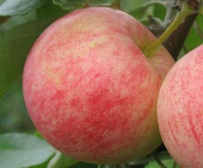 Выращивание яблок в средней полосе 52