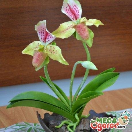Уход за орхидеей венерин башмачок в домашних