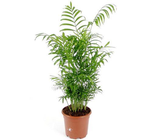 Как размножить пальму в домашних условиях