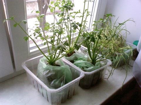 Выращивание зелени в домашних 418