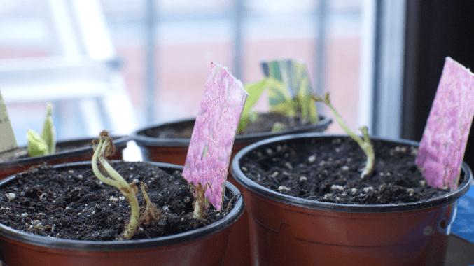 Вырастить гортензия из семян в домашних условиях