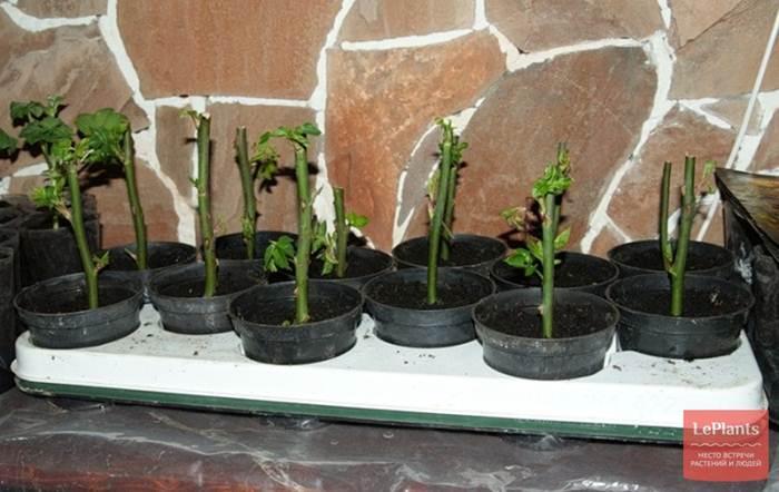 Как вырастить розу из черенка в домашних условиях на картошке