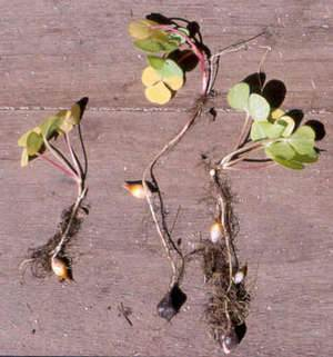 Кислица луковичная выращивание 64