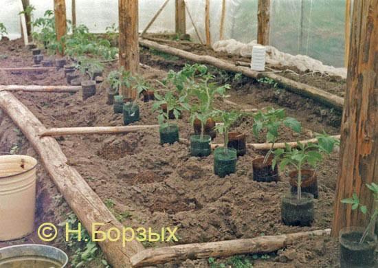 Выращивание томатов в бутылках 532