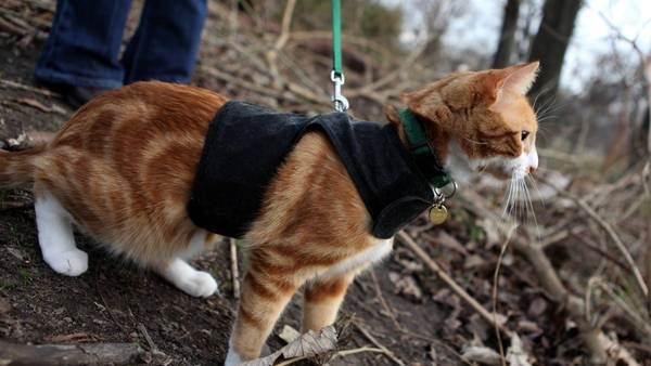 Упряжка для кота