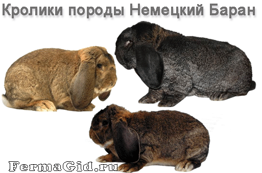 Вислоухие кролики породы Баран: содержание, разведение, фото - My Life