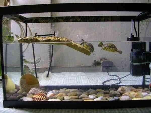 Содержание черепах в аквариуме в домашних условиях - Красноухая черепаха в домашних условиях: уход и содержание
