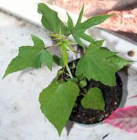 Травянистые гибискусы выращивание из семян 12