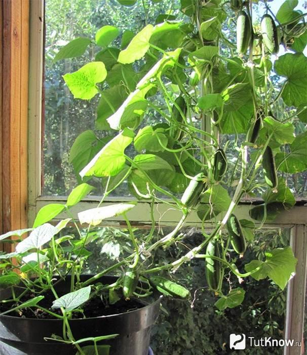 Выращивание корнишонов в домашних условиях 1