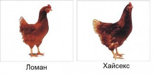 курица несушка ломан браун фото