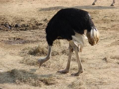 Ostrich head in sand myth