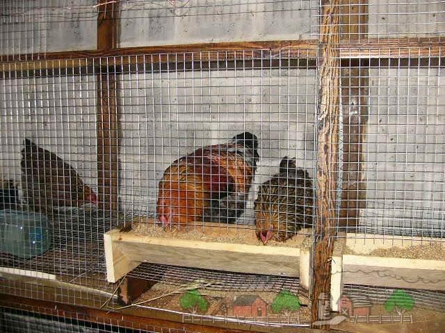 Содержание куриц несушек в домашних условиях 79