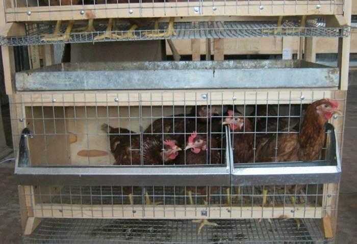 Содержание кур несушек в домашних условиях: клетки, требования к помещению, породы птицы - My Life