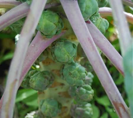 Выращивание и уход за брюссельской капустой в открытом грунте 752