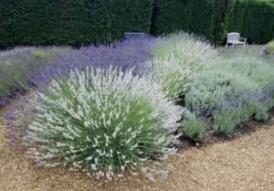 Декоративная трава для клумбы названия и фото