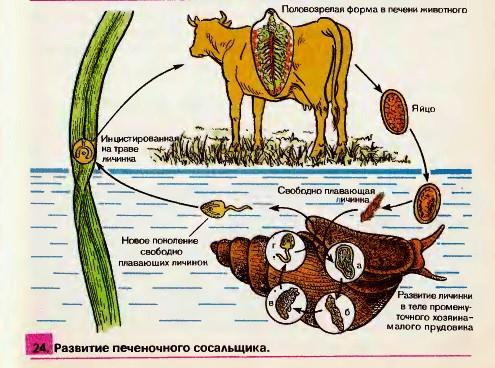 бычий цепень как паразит человека