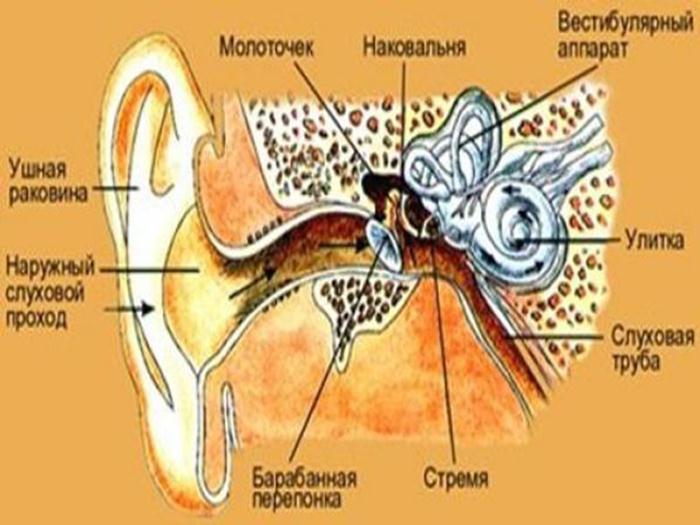 Схема уха человека