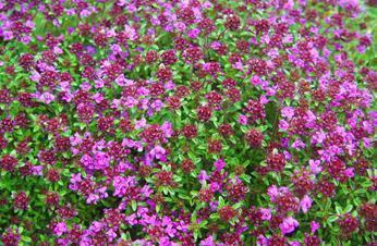 Богородская трава фото